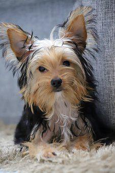 Teacup Yorkie Puppies for sale in Rhode Island
