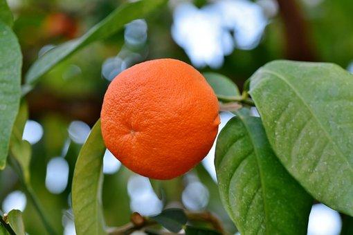 Orange, Oranger, Agrumes, Fruit