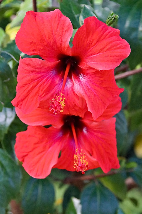 Bunga Bunga Kembang Sepatu Merah Foto Gratis Di Pixabay