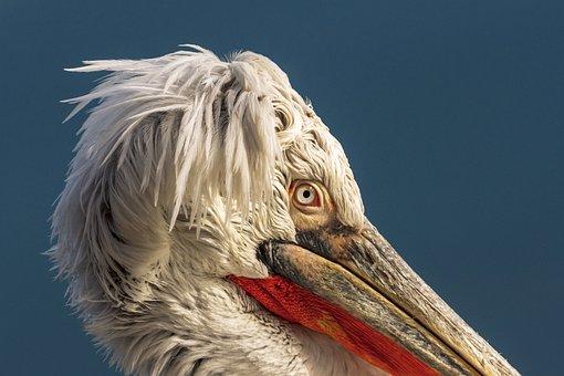 1 000 Free Pelicans Bird Photos Pixabay