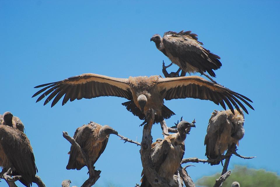 Sęp, Sępy, Namibia, Afryka, Natura, Raptor, Pióro