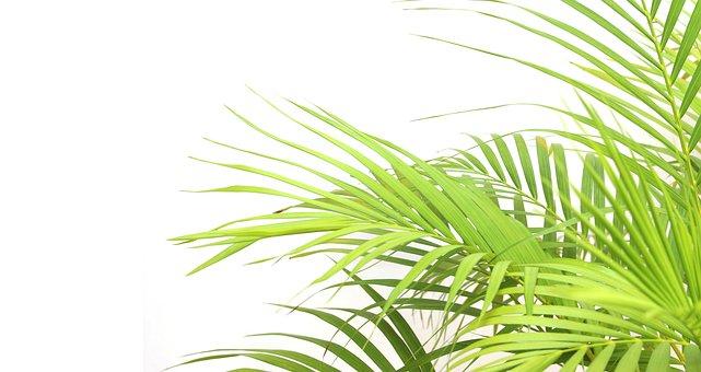 Palm, Leaf, Foliage, Tropical, Green