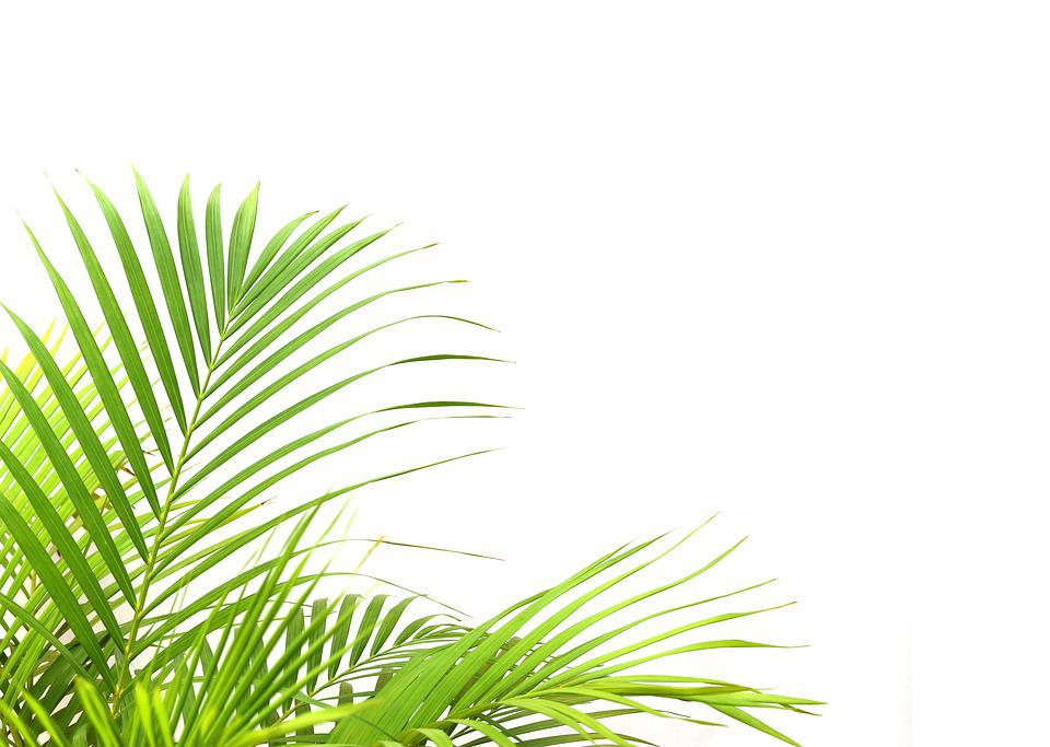 Palm, Leaf, Foliage, Tropical, Green, Leaves, Plant