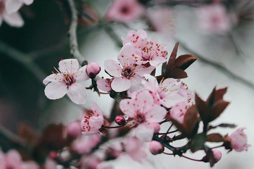 Flowering Cherry, Japanese