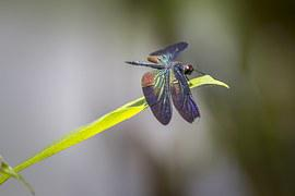 Greater Blue-Wing