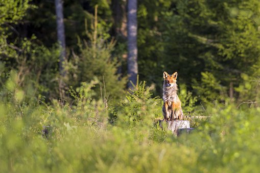 Red Fox, Vulpes Vulpes, Animal, Nature
