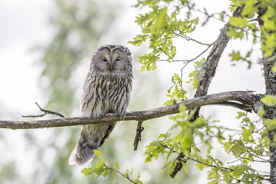 Uralská Sova, Vták, Voľne Žijúcich Živočíchov, Zviera