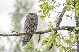 Ural Owl, Strix Uralensis, Bird