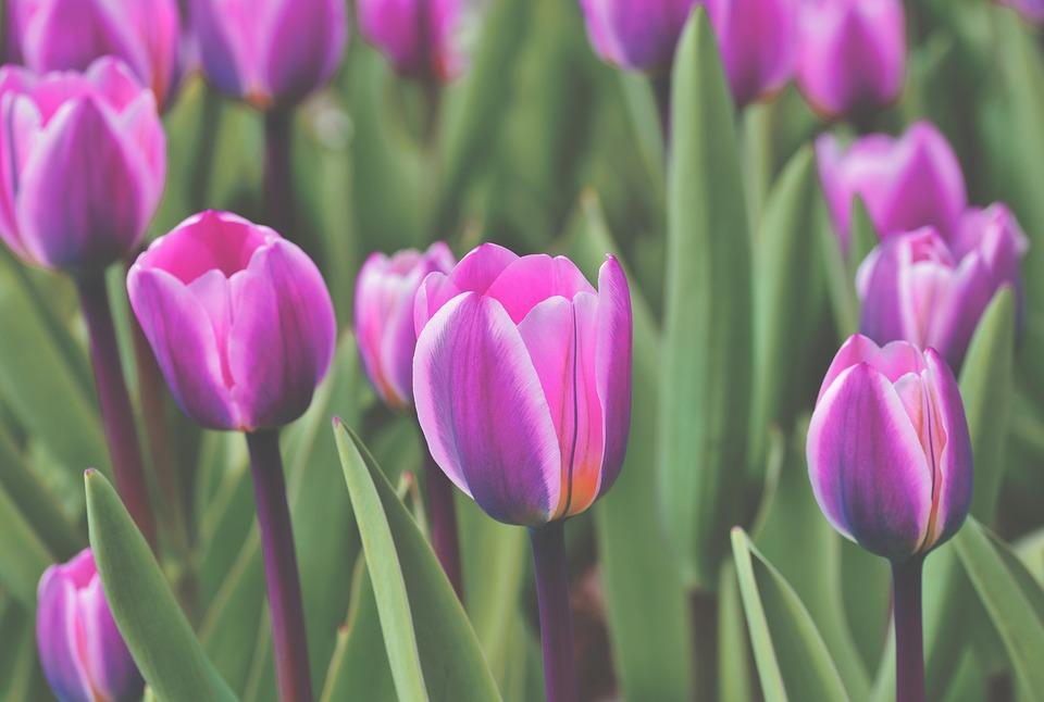 Tulipano, Campo Tulipano, Fiore, Fioritura