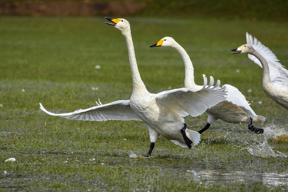 Animal, Campo De Arroz, Agua, Ave, Aves Silvestres