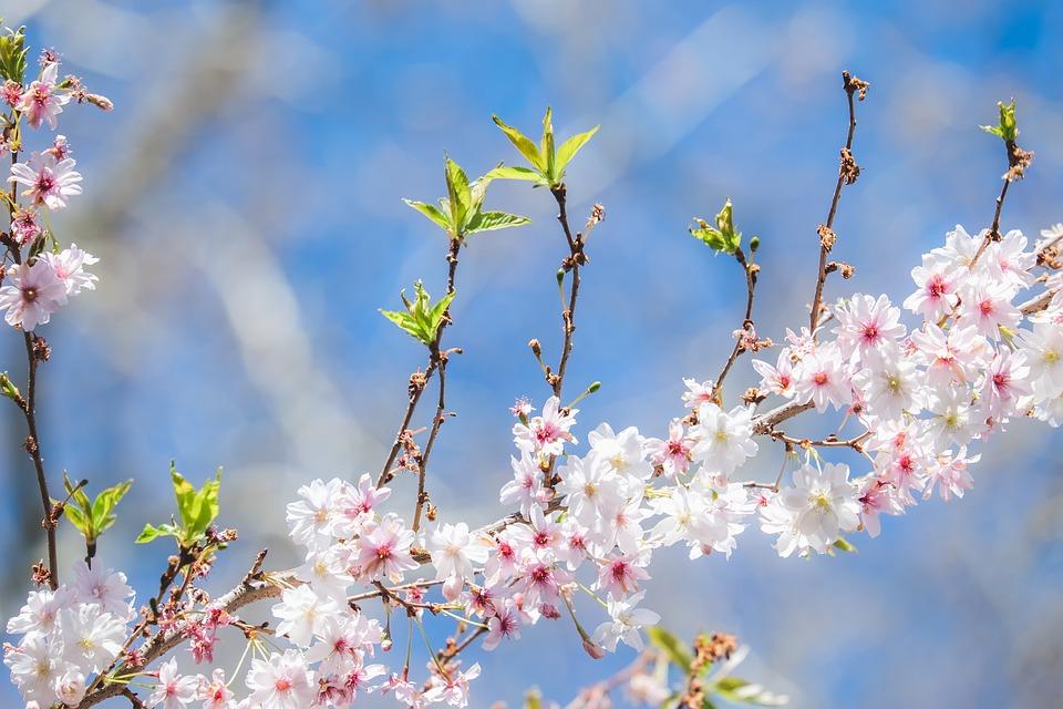 枝の開花 日本の桜の花 桜観賞 - Pixabayの無料写真