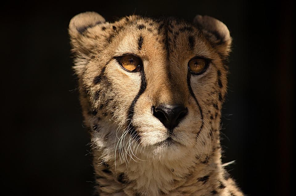 Cheetah, Predator, Cat, Big Cat, Dangerous, Fast
