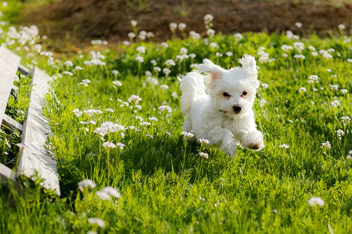 Dog, Maltese, Puppy, White, Meadow, Pet