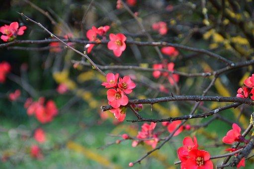 일본 마르멜로, 매 화, 꽃, 봄, 지점, 레드, 식물, 정원, 다채로운