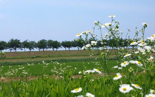自然, 風景, 田んぼ, 花, あぜ道, 雑草, 苗, 緑, 木, 並木, 空