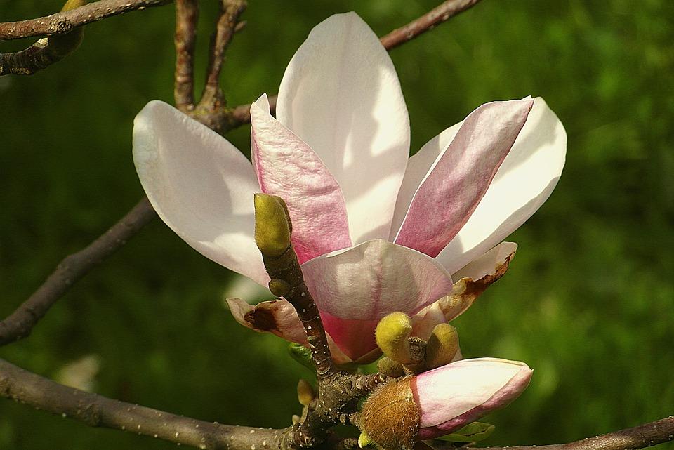 Magnolia Flower Pink Hot - Free photo on Pixabay