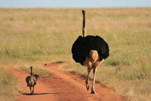Father, Son, Ostrich, Walking, South