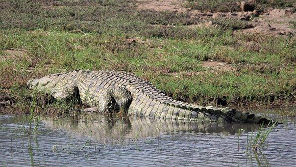 Crocodile, Sleeping, Water, Edge
