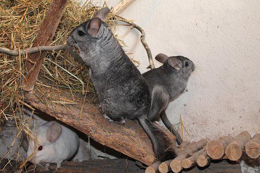 Chinchilla, Pet, Animal, Grey, Nature