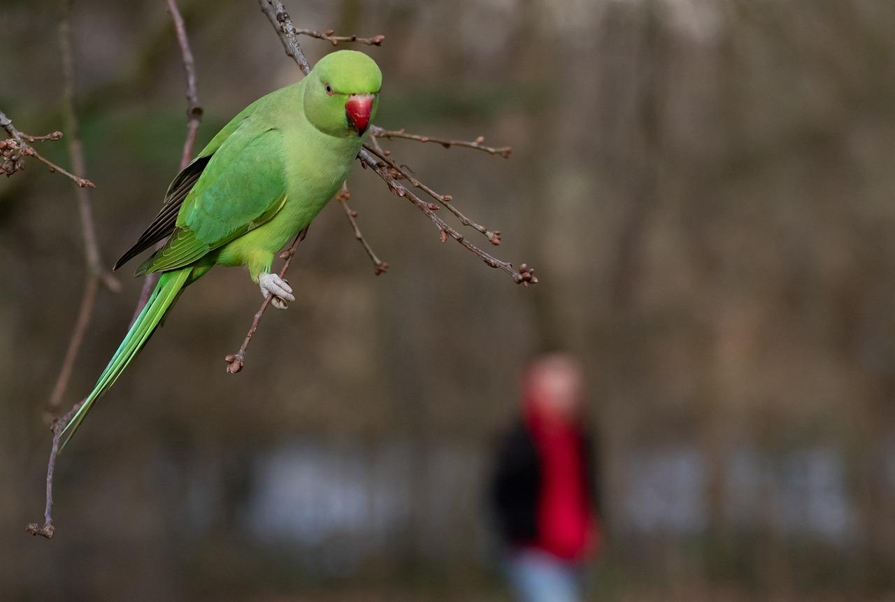 Ring-Necked Parakeet In Park Rose - Free photo on Pixabay