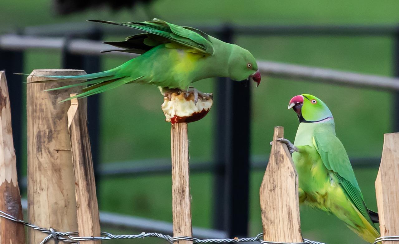 Ring-Necked Parakeets Fighting - Free photo on Pixabay