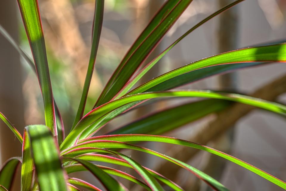 Pokojová Rostlina, Dracena, Dračí Strom, Listy, Zelená