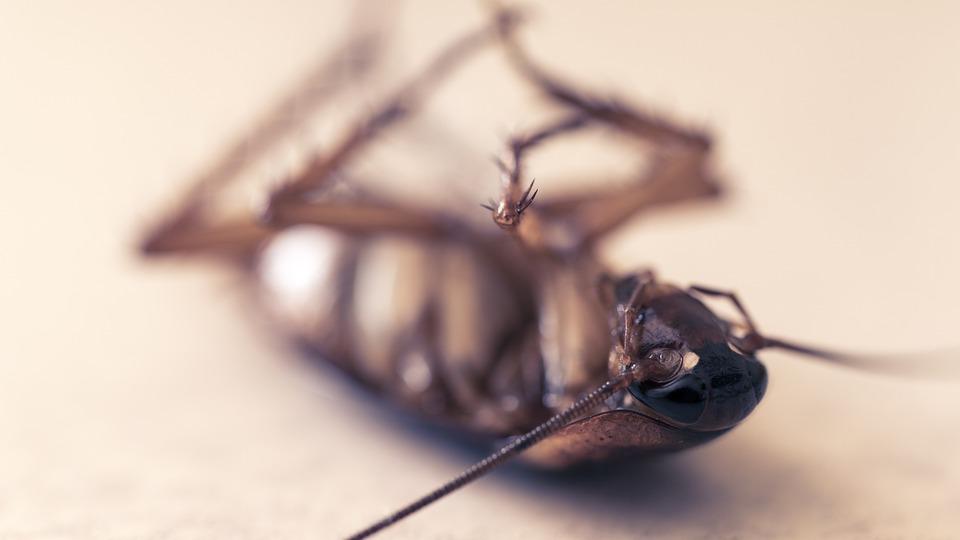 Хлебарка, Orthoptera, Мъртъв, Вредители, Паразити