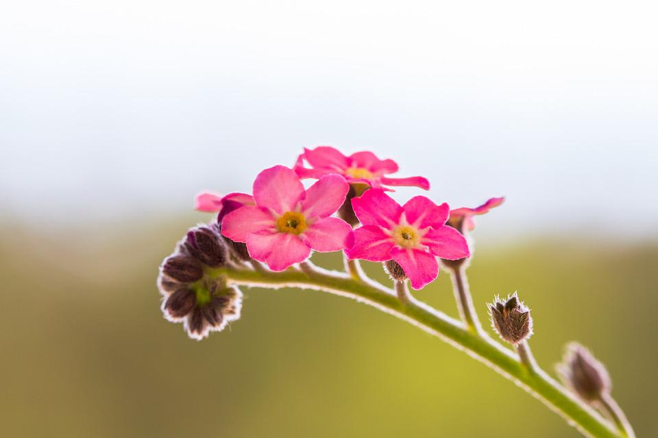 Forget Me Not, Flower, Pink, Nature, Blossom, Bloom