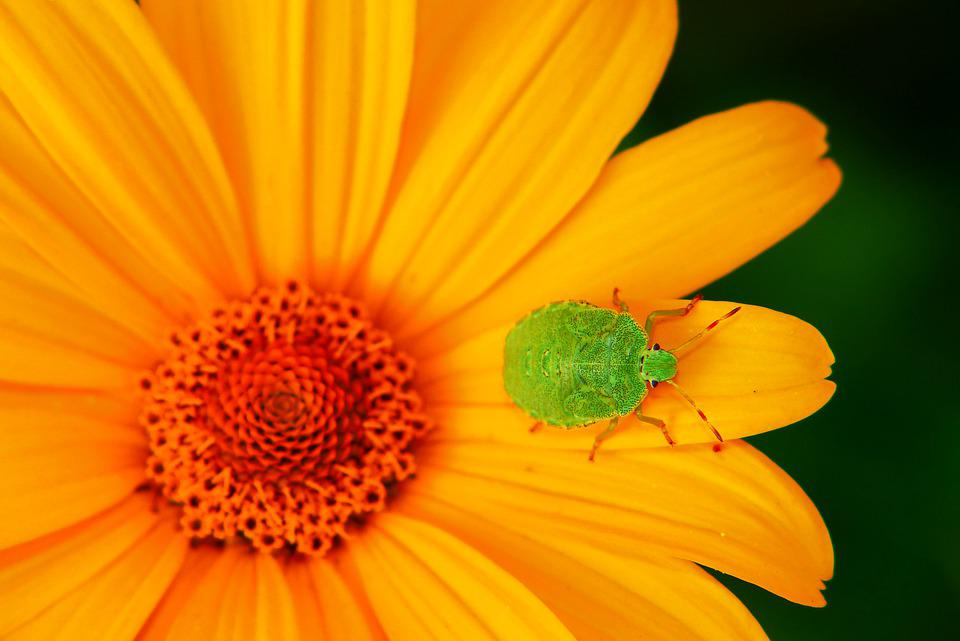 Odorek Jednobarwek, Pluskwiak, Eyes, Antennae, Insect