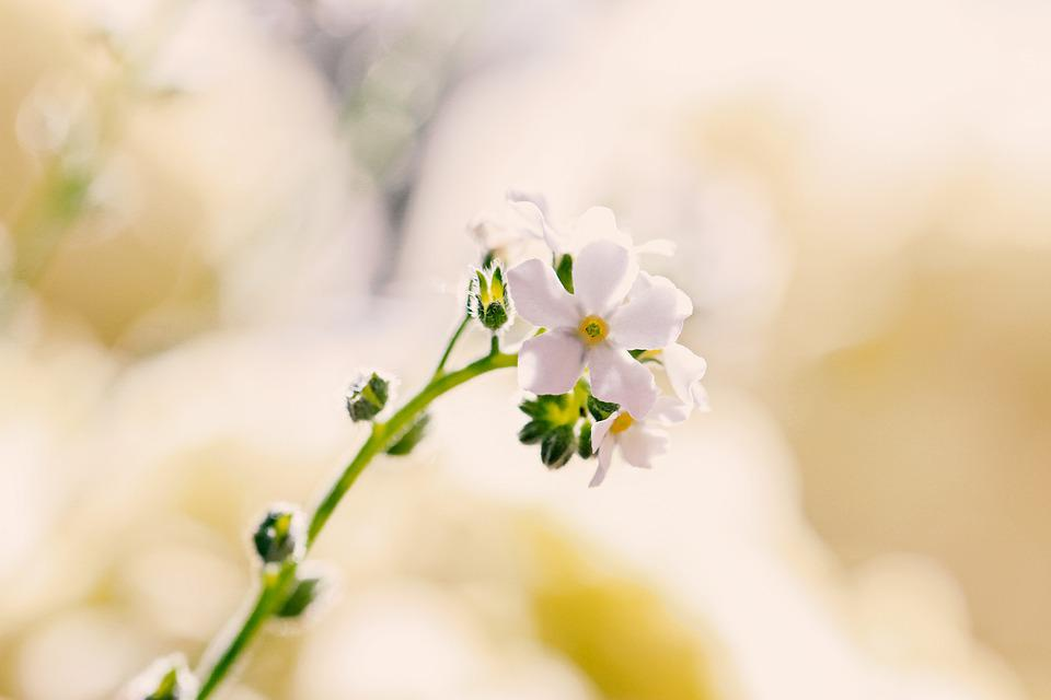 Forget Me Not, White, Spring, Bloom, Nature, Blossom