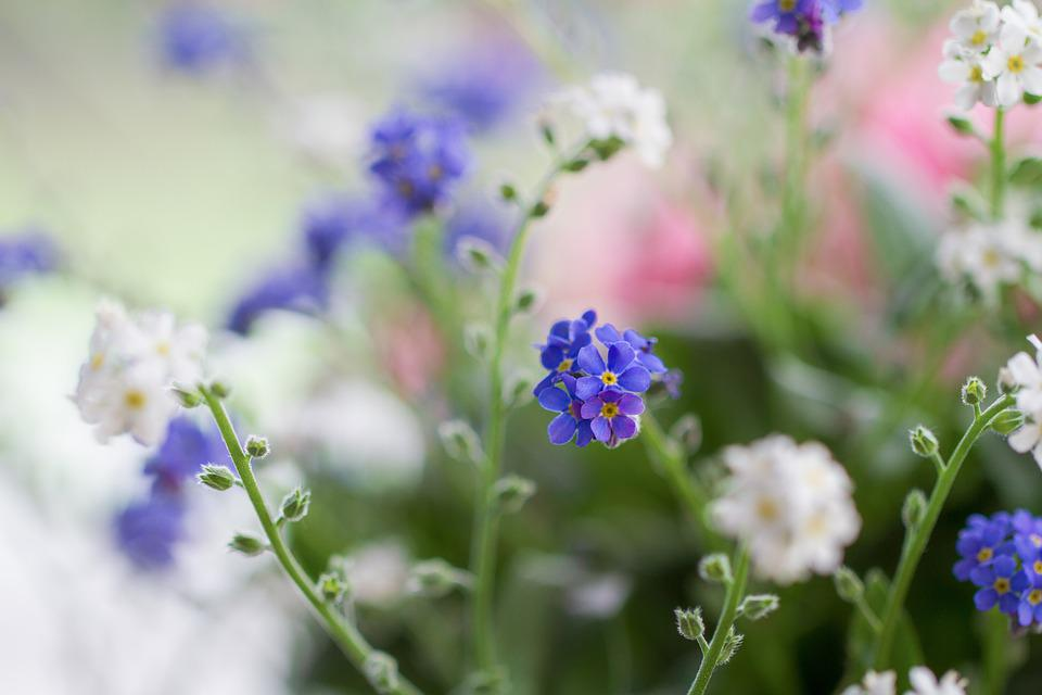 Forget Me Not, Flowers, Blue, White, Pink, Bloom