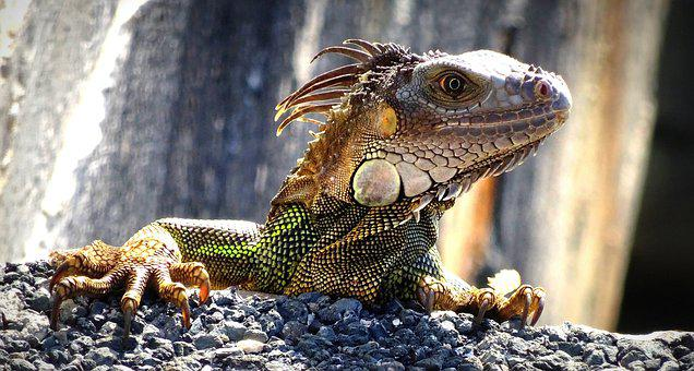 Iguana, Florida, Lizard, Dragon