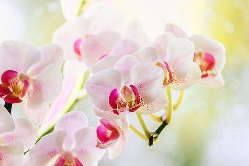 Orchid, Ornamental Plant, Orchidaceae