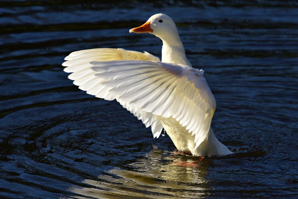Pekin Duck, Water Bird, Animal, Feather, Plumage, Wing