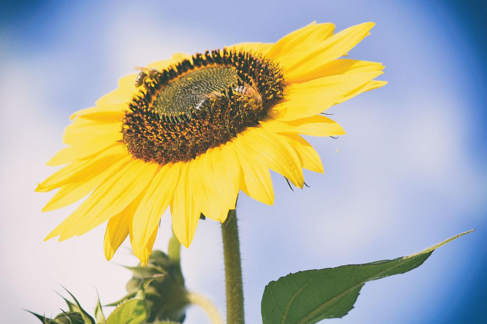 Bees, Sunflower, Yellow, Close Up, Plant, Summer