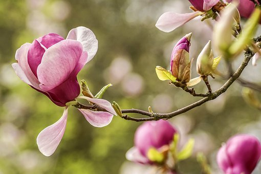 Magnolia, Spring Greeting