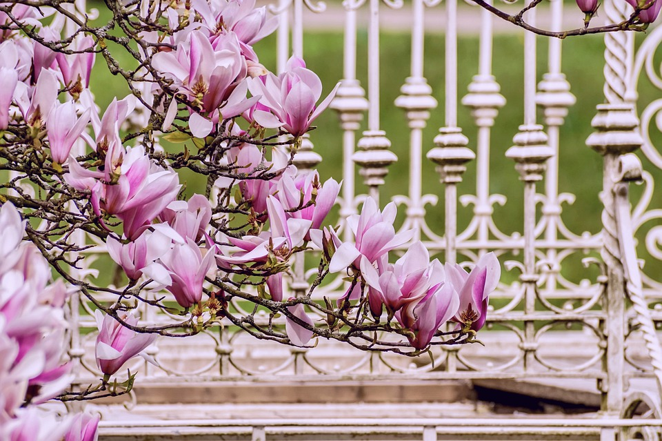 Magnolia, Spring Greeting, Spring Awakening, Flowers