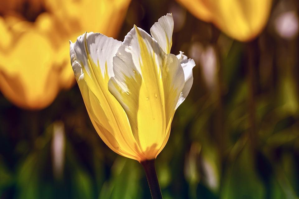 Tulip, Yellow, White, Garden, Colorful, Spring Flower