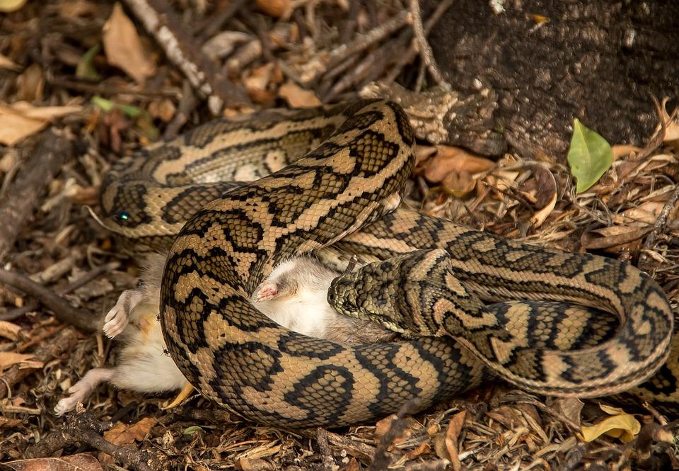 งู, พรมหลาม, งูหลาม, จับ, เหยื่อ, หนู, ออสเตรเลีย