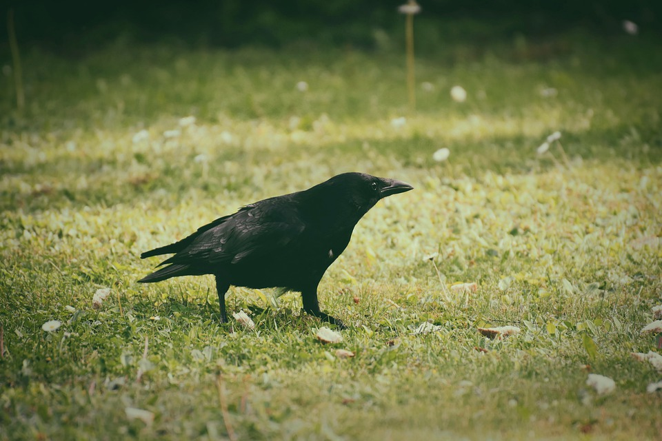 Crow, Raven Bird, Raven, Black, Nature, Carrion Crow