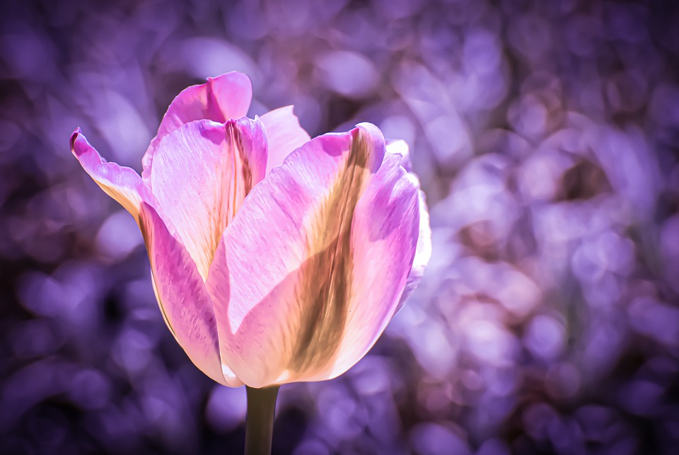 Tulip, Flower, Colorful, Spring Flowers, Flowers
