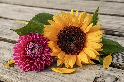 Sunflower, Dahlia, Summer, Sunny, Color