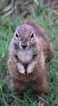 cape ground squirrel 4844412  340