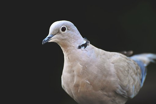 Dove, Ringdove, Bird, Animal, Foraging