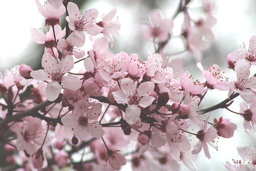 Cherry Blossoms, Flowers, Tree, Bloom