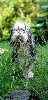Dog, Grass, Lavender, Bearded Collie