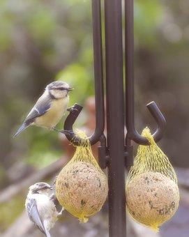 Blue Tit, Tit, Songbird, Small Bird