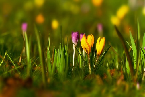Crocus, Spring Flower, Bloom, Garden