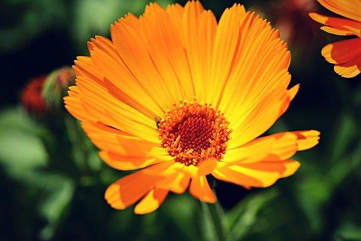 Marigold, Spring Flower, Petal, Heart