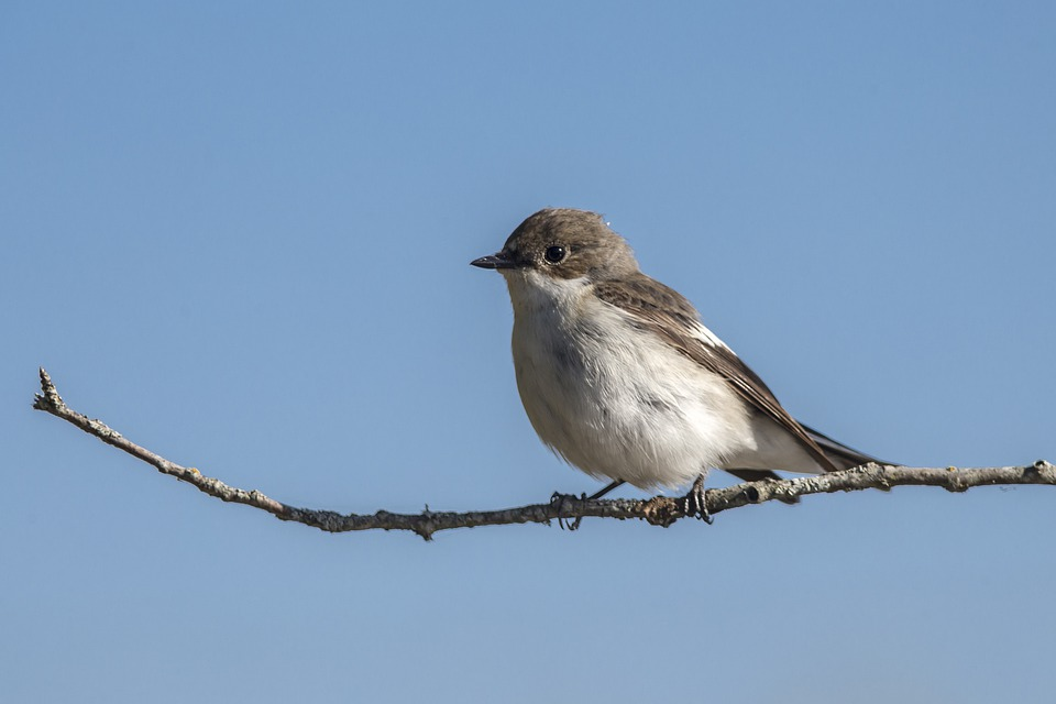 European Pied Flycatcher, Ficedula Hypoleuca, Bird